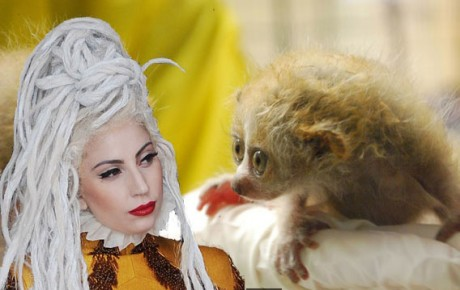 Lady Gaga bitten by slow loris